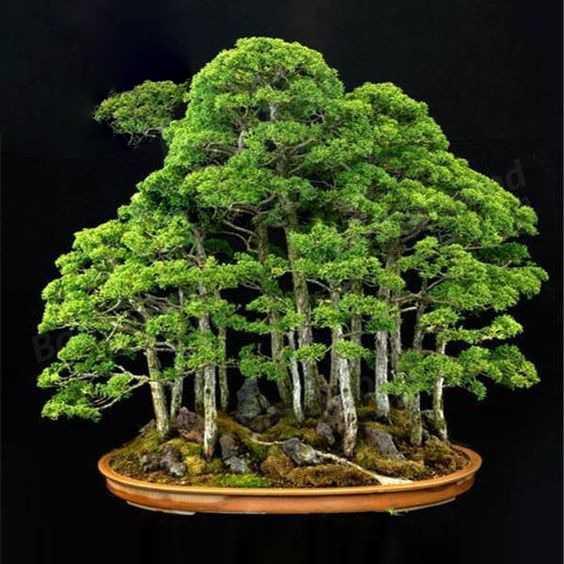Juniper Bonsai Tree Seeds 20pcs Pure Bonsai