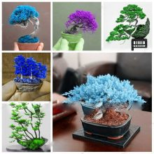 Rare Colorful Japanese Juniper Bonsai Seeds 50pcs