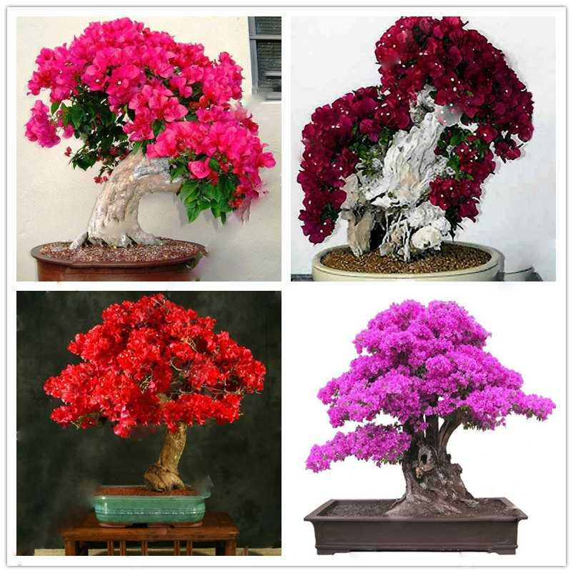 Colorful Bougainvillea Seeds 20 pcs/bag