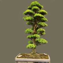 Japanese Cedar Semillas Seeds 28pcs