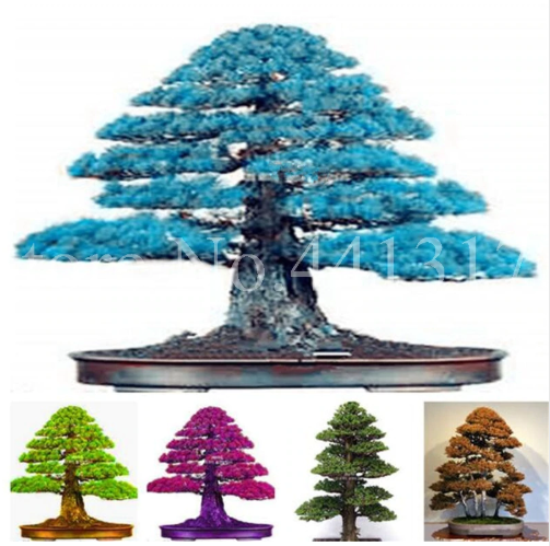Japanese Bonsai Tree Seeds 100 Pcs Pure Bonsai