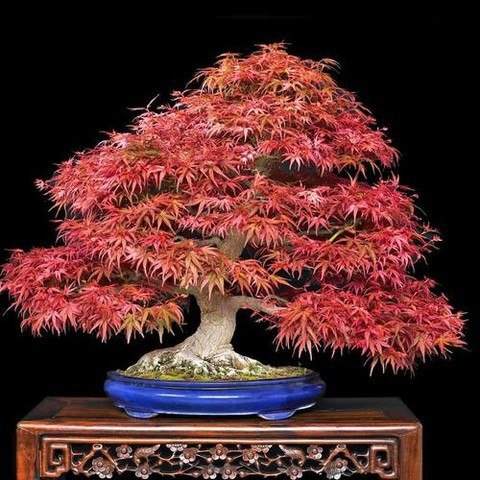 60pcs Japanese Maple Atropurpureum Acer Palmatum Bonsai Seeds Pure