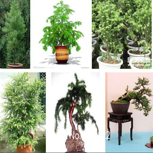 200pcs Giant Sequoia Bonsai Seeds Pure Bonsai