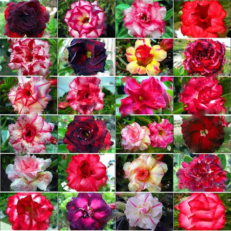 12pcs Adenium Obesum Desert Rose Bonsai Flower Seed Pure Bonsai