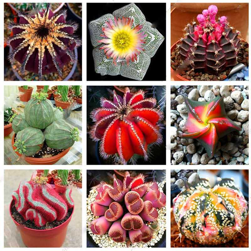 200pcs Mixed Set Japanese Mini Polygon flower Cactus Succulents Seeds