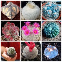 200Pcs Mini Rare Cactus Succulent Seeds