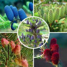 Korean Tree Abies Fir Seeds 10pcs