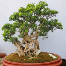 Boxwood Seeds Potted Buxus Buxaceae Bonsai Purifying Air 100pcs
