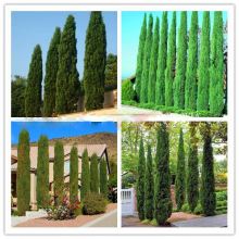 Cypress Cupressus Sempervirens Stricta Tree Seeds 100pcs