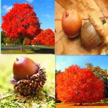 Rare Red Oak Quercus Alba Acorns Tree Seeds 10pcs