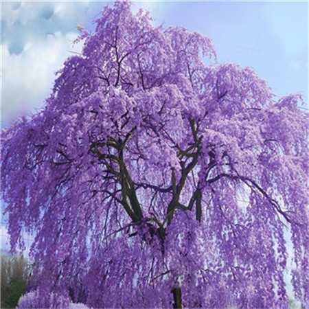 Rare Jacaranda Mimosifolia Bonsai Tree Seeds 500pcs Mix Colors