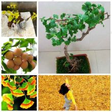 Ginkgo Biloba Maidenhair Bonsai Tree Seeds 10 Pcs