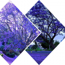 100 pcs Blue Purple Jacaranda Mimosifolia Tree Seeds