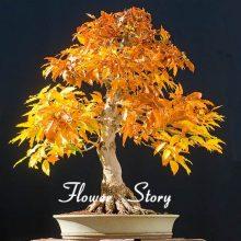 Japanese Bonsai Tree Seeds 8 Kinds 100 Pcs