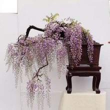 Wisteria Bonsai Seeds 10pcs