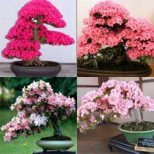Japanese Sakura Cherry Blossom Seeds 10pcs