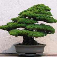 Pine Bonsai Seeds 5 Leaves 30pcs