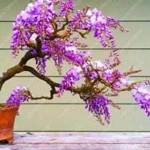 Wisteria Plant Seeds 10pcs different colours