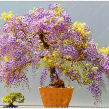 Wisteria Bonsai Seed 10pcs