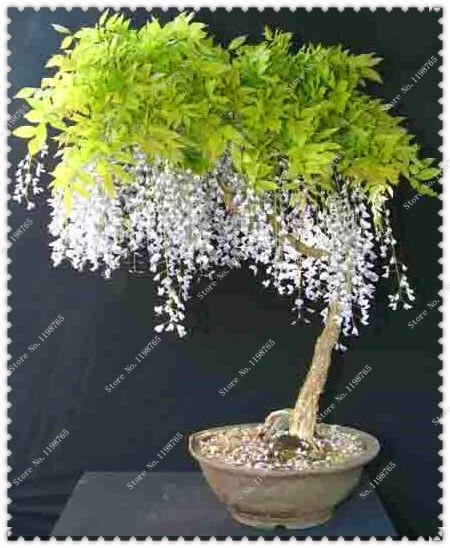 Wisteria Bonsai Seed 50pcs