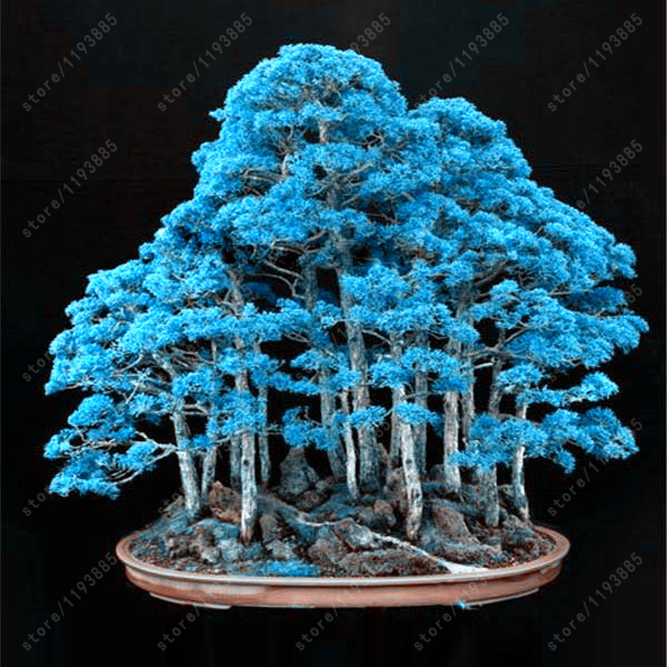 Rare Blue Juniper Seeds 50pcs