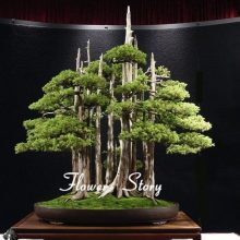 Juniper Bonsai Tree Seeds 20pcs