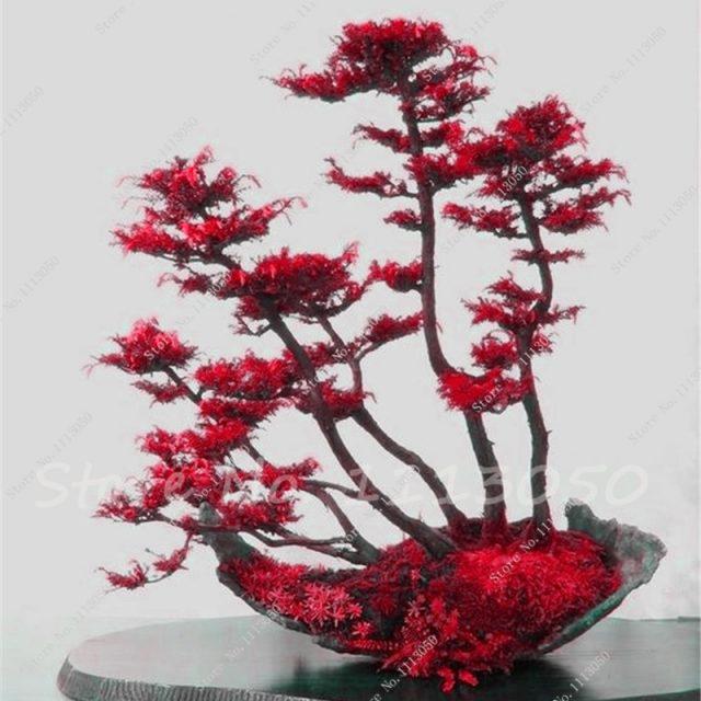 Rare Colorful Japanese Juniper Bonsai Seeds 60pcs