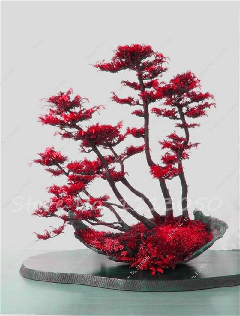 Rare Colorful Japanese Juniper Bonsai Seeds 60pcs