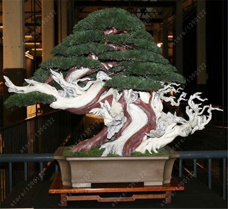 Juniper Bonsai Seeds 100pcs