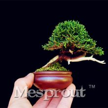 Mini Juniper Tree Seeds 50pcs