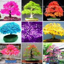 Colorful Maple Tree Seeds 40pcs