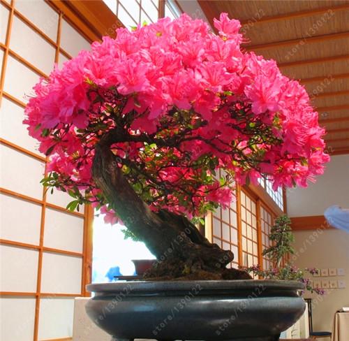 18 Different Sakura Japanese Cherry Bonsai Seeds 10pcs Pure Bonsai