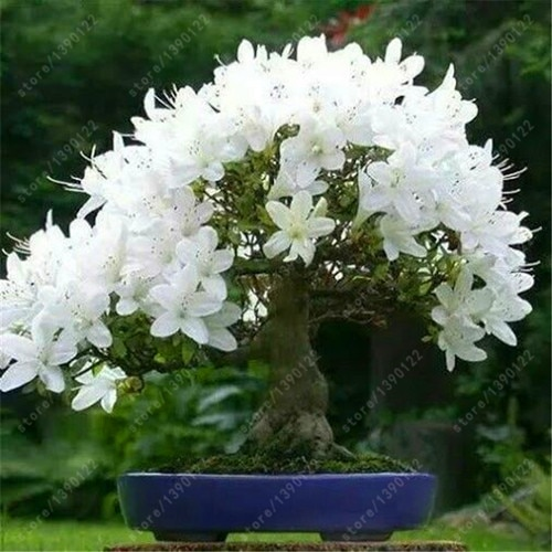18 Different Sakura Japanese Cherry Bonsai Seeds 10pcs