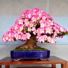 18 Different Sakura Japanese Cherry Bonsai Seeds 10pcs