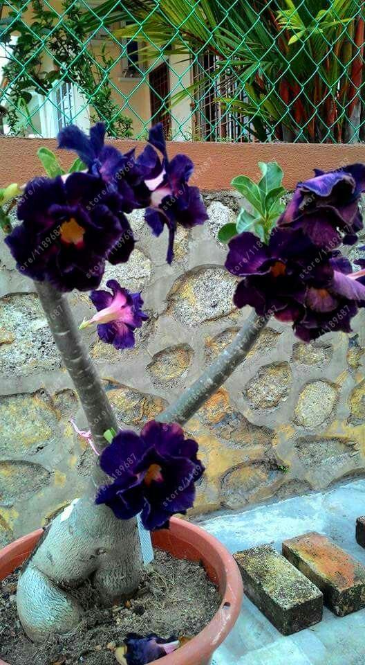 Desert Rose Seeds Adenium Obesum 2pcs