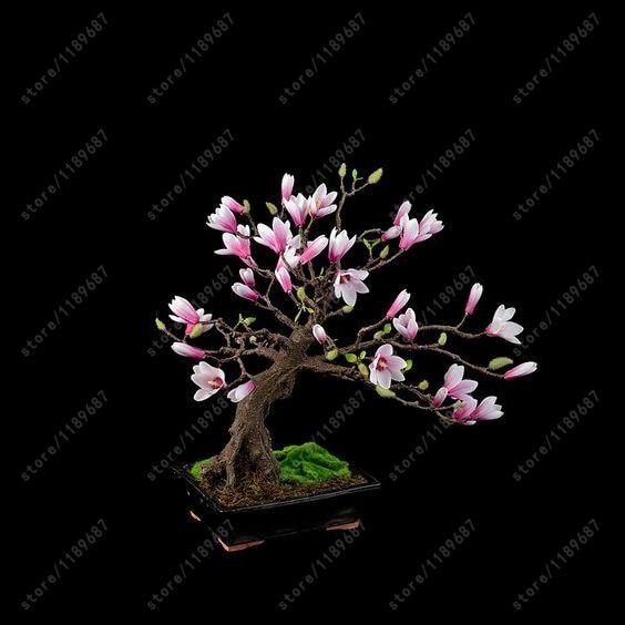Magnolia Seeds 30pcs