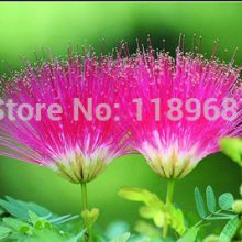 Silk Tree Seeds Albizia Julibrissin 20pcs