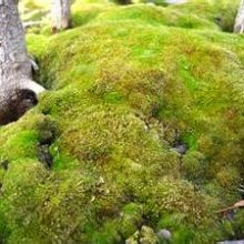 Sphagnum Moss for Bonsai decoration 200pcs