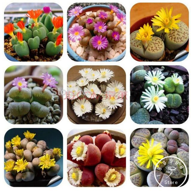 Mix of Rare Succulent Cactus Lithops Seeds 100pcs