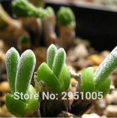 Small Rabbit Monilaria Obconica Seeds 10pcs