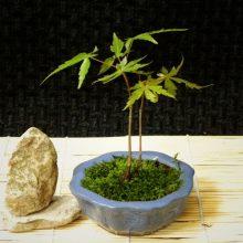 American Maple Seeds Bonsai 30 PCS