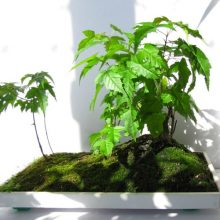 American Maple Seeds Bonsai 50 PCS
