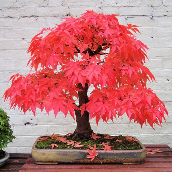 American Red Maple Tree Seeds 20 pcs