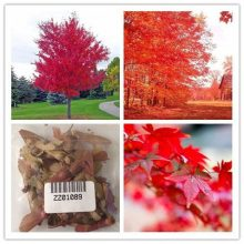 American Red Maple Bonsai Tree seeds 100pcs