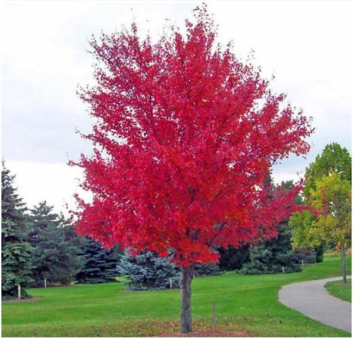 American Red Maple Bonsai Tree Seeds 100pcs Pure Bonsai