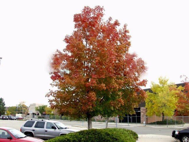 10pcs Northern American Sugar Maple Acer Saccharum Seeds