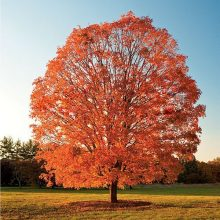 10pcs Northern American Sugar Maple Acer Saccharum Seeds