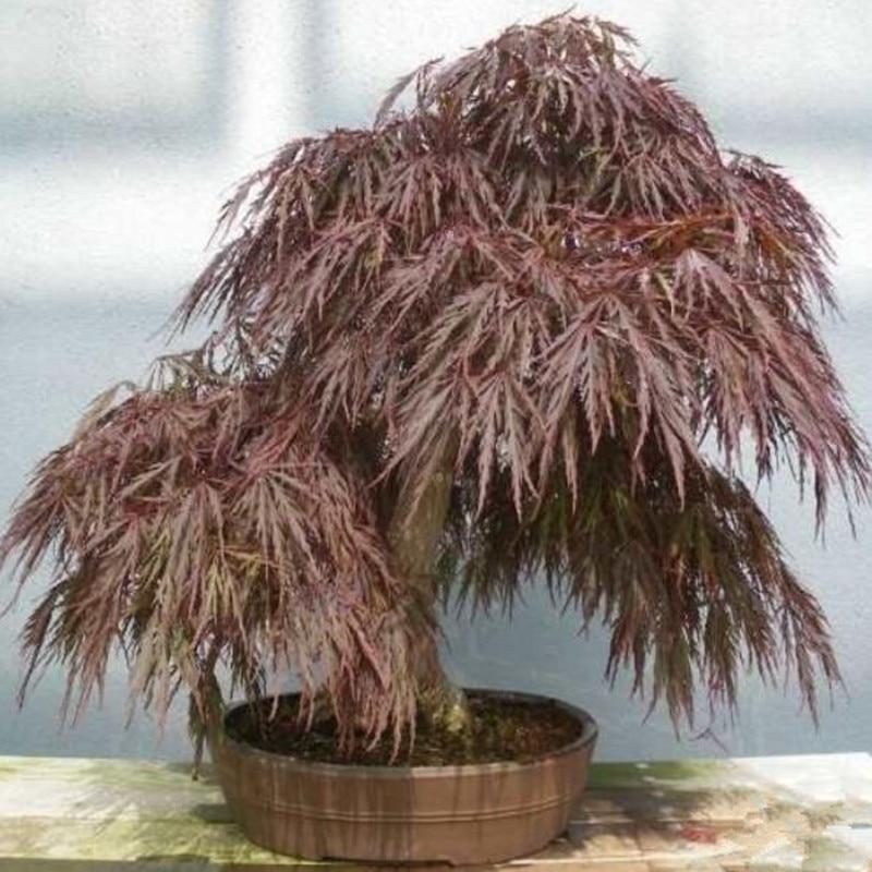 10pcs Rare Black Maple Seeds Acer Nigrum