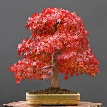 10pcs Acer Rubrum American Red Maple Tree Seeds