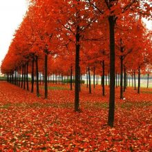 20pcs American Red Maple Tree Acer Rubrum Seeds
